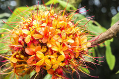 Sorrowless Drzewny kwiat Obraz Royalty Free