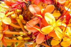 Sorrowless Tree Bloom. The colorful orange and yellow blooms of the tropical Sorrowless Tree stock image