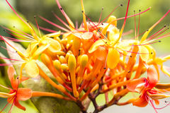 Sorrowless Tree Bloom. The colorful orange and yellow blooms of the tropical Sorrowless Tree royalty free stock photo