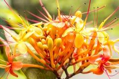 Sorrowless Tree Bloom Royalty Free Stock Photo
