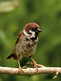 Sorry looking Tree Sparrow. Wet, funny and sorry looking European Tree Sparrow stock photos