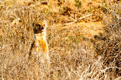 Sorry it was me - Meerkat - Suricata suricatta. Sorry it was me - The meerkat or suricate is a small carnivoran belonging to the mongoose family. It is the only Stock Image