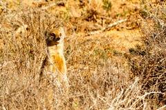 Sorry it was me - Meerkat - Suricata suricatta Stock Image