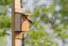 2 sorsi di albero che volano dentro e fuori del nido per deporre le uova Immagini Stock