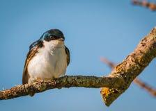 Sorso di albero - maschio bicolore di Tachycineta Fotografia Stock