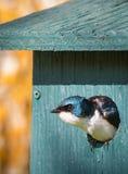 Sorso di albero - maschio bicolore di Tachycineta Fotografie Stock