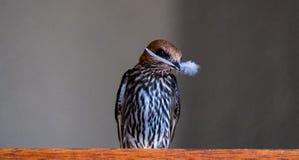 Sorso di Lesser Striped che tiene una piuma in suo becco, Cecropsis abyssinica, fotografato a Sabi Sands Game Reserve, il Sudafri fotografia stock