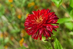 Sort of an aster flower. In a summer colorful garden stock images