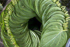 Sort betel. Betel leaves a lot to be stacked Stock Photography