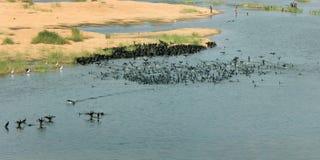 Sort d'oiseaux noirs se baignant dans l'eau de rivière Photos stock
