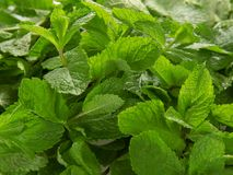 Sort de feuilles fraîches de menthe verte Image libre de droits