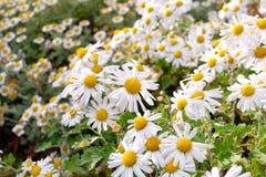 Sort de fleur de camomille dans le jardin Image stock