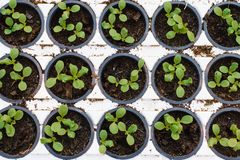 sort de jeunes plantes de laitue photos stock