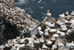 Sort de nids ! Fous de Bassan dans le cap St Mary Photographie stock libre de droits