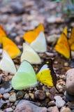 Sort de papillon de forêt Photographie stock