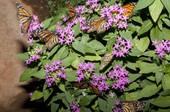 Sort de papillons de monarque Photo stock