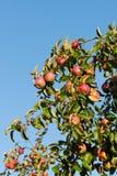 Sort de pommes sur le branchement de pommier Photos libres de droits