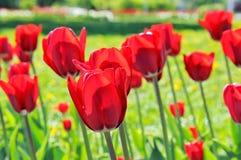 Sort de tulipes rouges dans le parterre Image stock