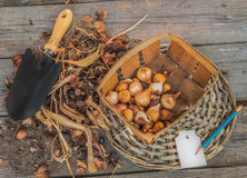 Sort dug tulip bulbs in size and sort Stock Photos