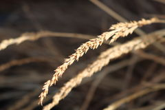 Sort of grain. A picture of the breeze blowing through wheat related grain Stock Images