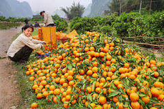Sort of oranges, which are  bunch of lying on  road. YANGSHUO, GUANGXI, CHINA - MARCH 29: The harvest of oranges in South West China, March 29, 2010. Chinese Stock Photography