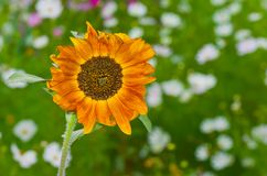 Sort of ornamental sunflower Royalty Free Stock Images