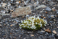 Sort plant Cerastium on Novaya Zemlya. The representative of rather poor flora of the arctic tundra, eurysynusic behind a Polar circle stock photo