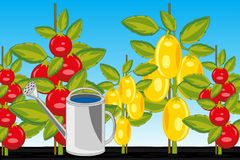 Sort tomato red and yellow in ground. Vector illustration of the harvest two sorts tomato on area royalty free illustration