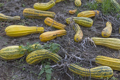 Sorted ou. T zucchini on a farm in Italy stock photo