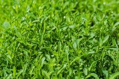 Sorterare för grönt gräs arkivbilder
