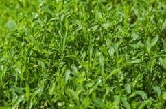 Sorterare för grönt gräs royaltyfri foto