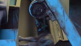 Sorterend erwtenzaad op de lift stock video