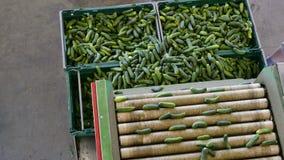 Sorterende komkommers in kratten stock video