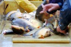 Sortieren der frisch gefangenen Fische Stockfotos