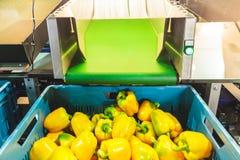 Sortieren des gelben grünen Pfeffers während der Ernte Lizenzfreie Stockfotografie