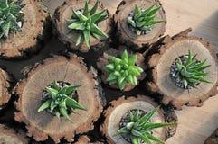 Sortierte Haworthia-Anlagen in den Eichen-Holz-Klotz-Pflanzern Lizenzfreie Stockfotografie