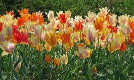 Sortierte weiße, orange, rote und gelbe Tulpen lizenzfreies stockfoto