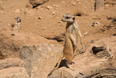 Sorties de regard de Meercat Photo libre de droits