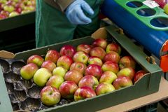 Sorting apples into the cartons, close. Fruit processing plant, a modern fruit processing plant, apples in the foreground, apples in the package stock photography