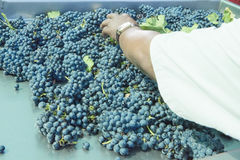 Sorting blue grapes royalty free stock photo