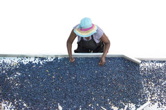 Selecting blue grapes Stock Photo