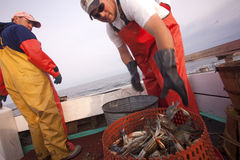 Sorting the crabs into pots Royalty Free Stock Photography