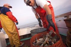 Sorting the crabs into pots. Fishermen sorting the crabs into pots Royalty Free Stock Photography