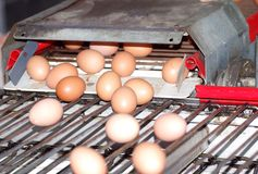 Sorting eggs. This is a special machine which enables to sort eggs in three categorical sizes. it moves constantly fast and accurate stock photo