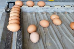 Sorting eggs closeup detail food. Background royalty free stock photo