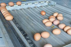 Sorting eggs detail. Sorting eggs closeup tool detail food royalty free stock image