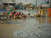 Sorting fish on the quayside Stock Images