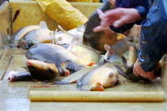 Sorting of freshly caught fish. Several hands sort in a tub the freshly caught fish Stock Photos