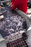 Sorting grapes after harvest. Harvesters sorting red wine afler harvest in a French vineyard Stock Photos