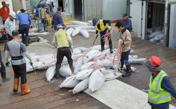 Sorting of hulks of a tuna. Busan, South Korea – September 22th, 2016: Busan, fish port, sorting of hulks of a frozen tuna Stock Images